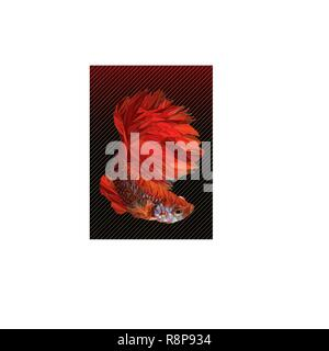 Polygon vector color drawing of  betta or simese fighting fish illustation. - Stock Photo