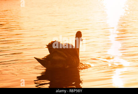 Closeup of a beautiful white swan (Cygnus olor) who swims alone in the sunset. - Stock Photo
