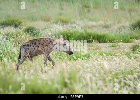 Spotted hyena in tall green grass. - Stock Photo
