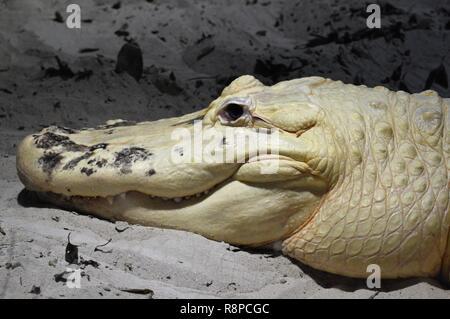 Albino alligator in Florida - Stock Photo