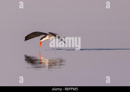 Bostwana, Chobe National Park, Chobe river, African skimmer (Rynchops flavirostris) - Stock Photo