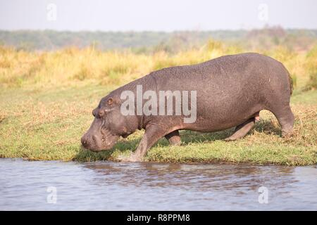 Bostwana, Chobe National Park, Chobe river, Common hippopotamus or Hippo (Hippopotamus amphibius), eating grass outside of the water - Stock Photo