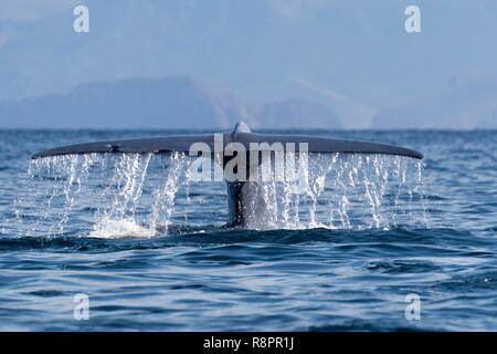 Mexico, Baja California Sur, Gulf of California (also known as the Sea of Cortez or Sea of Cortés, Loreto, Loreto Bay National Marine Park, Blue Whale (Balaenoptera musculus), tail of an adult - Stock Photo