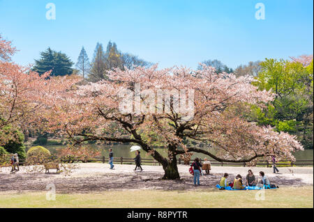 Cherry blossom tree in the Shinjuku Imperial Garden, Tokyo, Japan - Stock Photo