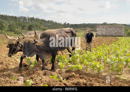 Vinales Valley,Cuba-April 04,2016: Cuban farmer ploughing field with traditional plough pulled by oxen on tobacco plantation in the Viñales Valley, Cu - Stock Photo