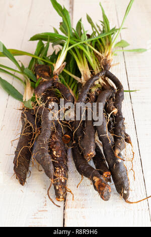 Fresh Scorzonera  (black salsify) ready for meal preparation in the kitchen.