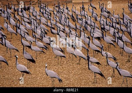 Birds, Flock of Demoiselle Crane (Grus Virgo), khichan, rajasthan, india - Stock Photo