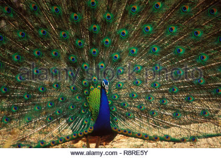 Birds, common peafowl peacock (Pavo Cristatus) showing attractive open colorful feathers fan - Stock Photo