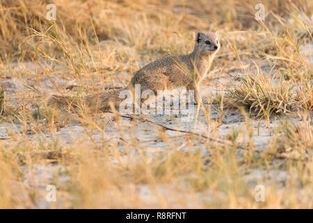 Bostwana, Savuti National Park, Yellow Mongoose (Cynictis penicillata) - Stock Photo