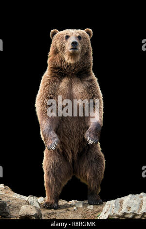 Brown bear (Ursus arctos) standing on his hind legs on the black background - Stock Photo