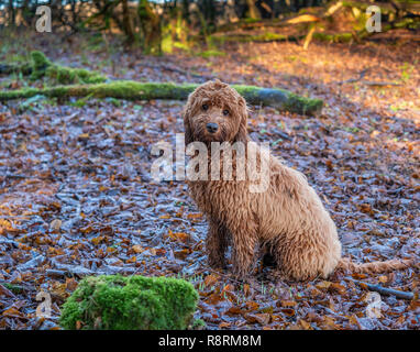 A young cockapoo puppy sitting in the woods amongst the autumn leaves - Stock Photo