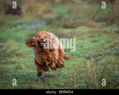 A young cockapoo puppy running and  playing in a field on a cold frosty morning - Stock Photo