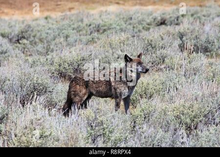 The alpha female grey wolf of Yellowstone National Park Canyon pack, known as 926F to researchers and Spitfire to the public, hunts in the sage brush of the Lamar Valley May 5, 2018 in Yellowstone National Park, Montana. Spitfire was shot and killed outside the park boundaries by hunters on December 4, 2018. - Stock Photo