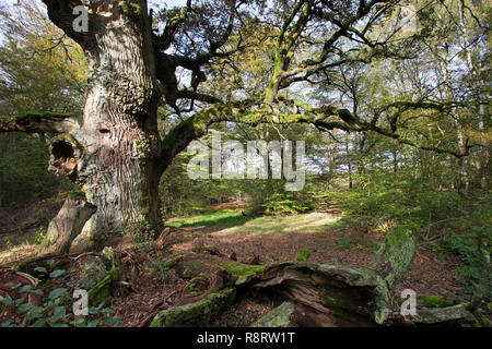 Urwald, Wald, natürlicher Mischwald, Eichenwald, Totholz, Baumriese, alte Eiche, Quercus, primeval forest, virgin forest, deadwood, dead wood, oak, oa - Stock Photo