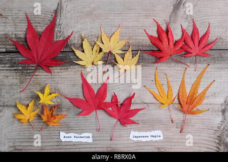 Acer palmatum. Japanese maples leaves in autumn. Top row (l-r) Matsukaze, Sango kaku, Trompenburg. Bottom row: Shishigashira, Osakazuki, Villa Taranto - Stock Photo