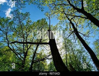 dry tree against the blue sky in spring, Moscow - Stock Photo