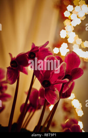 cyclamen at christmas time with christmas lights in background in a warm house in december - Stock Photo
