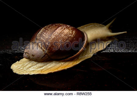 The Brazilian giant snail Megalobulimus sp (not to be confused with its exotic African competitor Achatina fulica). Minas Gerais interior, Brazil. - Stock Photo