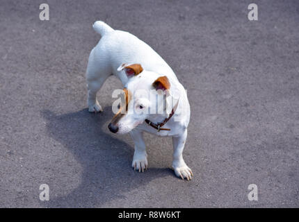 Jack Russell Terrier stands on grey asphalt - Stock Photo
