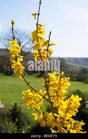 Yellow flowers of Forsythia x intermedia Gold Mine in an English garden in April early Spring - Stock Photo