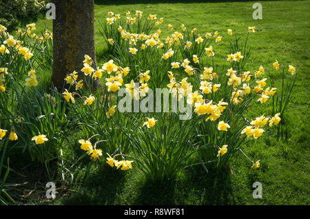 Naturalised daffodils in a grass lawn under a small tree flowering in April early Spring in an English garden - Stock Photo