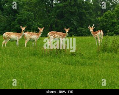 Four fallow deer (Dama dama) looking directly at the camera in a green park - Stock Photo