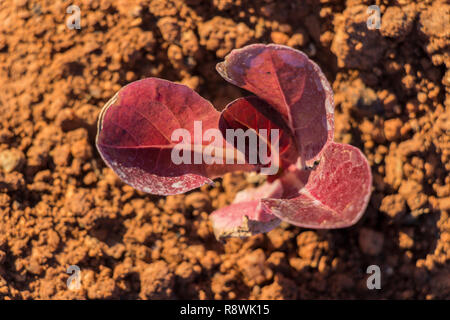 aerial view red baby leaf  lettuce in the field, top view, lettuce cultivation, red leaves - Stock Photo