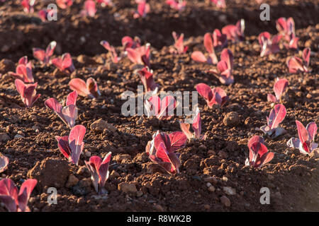 red baby leaf lettuce in field, lettuce cultivation, red leaves - Stock Photo