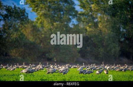 Cranes  in a field foraging.  Green grass background.  Common Crane. Scientific name: Grus grus, Grus communis.  Cranes Flock on the green field.