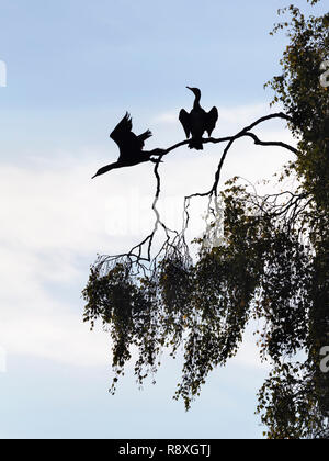 Pair of Great Cormorants perched in a tree with one just flying off - Stock Photo