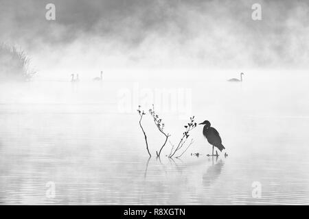 Atmospheric black and white image of birdlife on a misty lake at dawn - Stock Photo