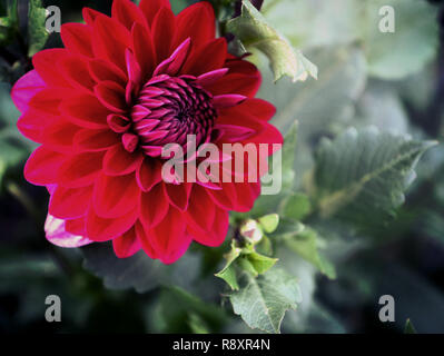Beautiful dahlia flower, perfect natural symmetry in purple red, soft focus - Stock Photo