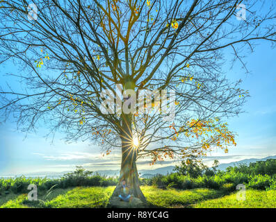 The old Bodhi tree is in the time of changing leaves in winter when the sun shines through the tree to welcome the new day in the highlands of Vietnam - Stock Photo