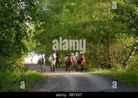 Georgia, Kakheti, Tusheti National Park, Omalo, rider bringing his horses to the meadow - Stock Photo