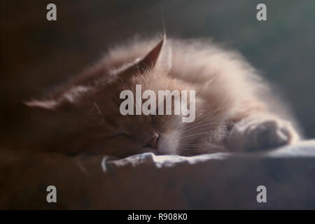 A Siberian male cat is sleeping on a warm blanket - Stock Photo