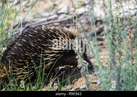 Echidna foraging in a grassy area on a sunny day - Stock Photo