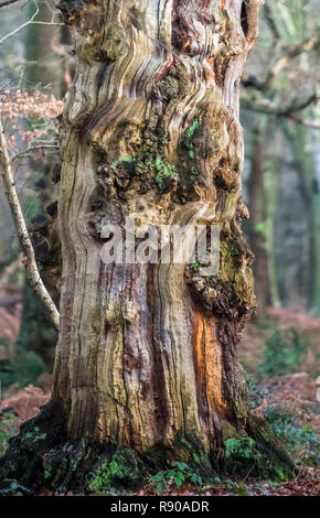 An old dead and decaying English oak tree in Sherwood forest during winter. - Stock Photo