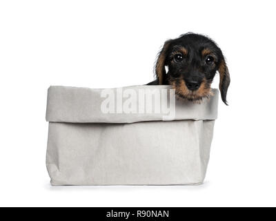 Sweet black and brown wirehaired dashound puppy sitting in grey paper bag, head hanging over edge looking straight at camera with big dark eyes. Isola - Stock Photo
