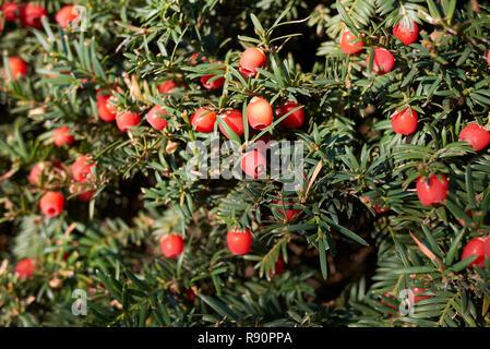 Taxus baccata - Stock Photo