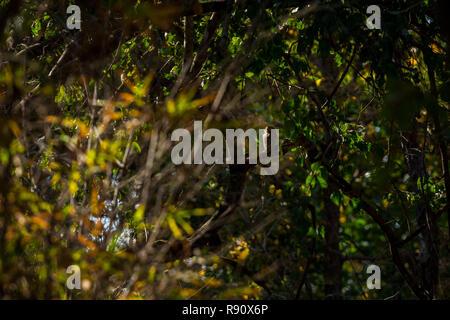A habitat image of Barred Jungle Owlet or Glaucidium radiatum at Bandhavgarh Tiger Reserve, India - Stock Photo