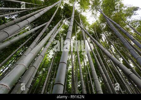 Japan, Honshu island, Kansai region, Kyoto, Arashiyama Sagana, a bamboo forest - Stock Photo