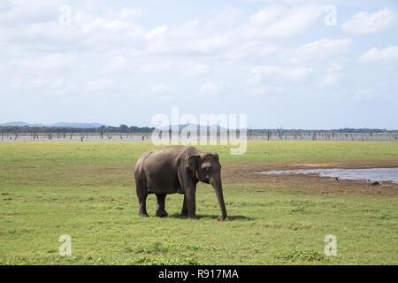 Elephant in Kaudulla National Park, Sri Lanka - Stock Photo