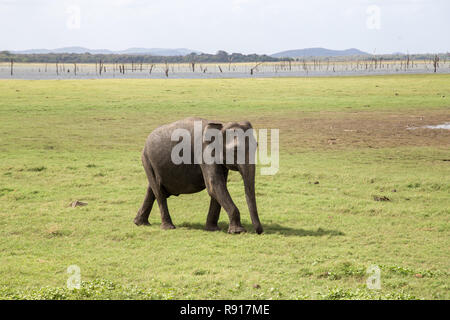 Baby Elephant in Kaudulla National Park, Sri Lanka - Stock Photo