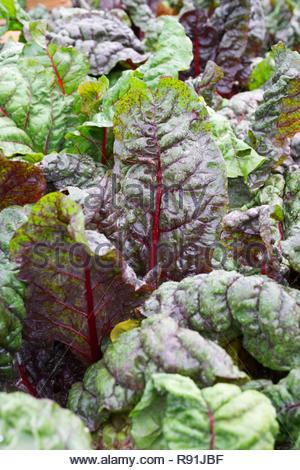 Beta vulgaris. Rhubarb chard growing in a vegetable garden. - Stock Photo