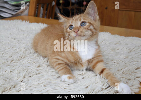 Portrait of Ginger and White Kitten - Stock Photo