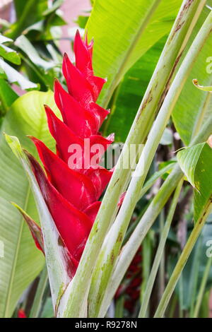Alpinia purpurata, red ginger, also called ostrich plume and pink cone ginger, are native Malaysian plants with showy flowers on long brightly colored - Stock Photo