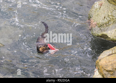 A Marine Otter diving and playing with human dirt on polluted waters at Quintay Pier an old whale fishing village close to Santiago de City - Stock Photo