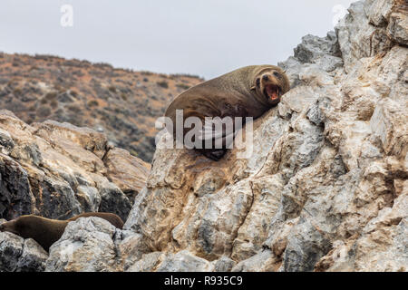 Chanaral Island at Chanaral de Aceituno in Atacama Desert, Chile, is an amazing place for seeing wildlife like the South American Sea Lion, sea life - Stock Photo
