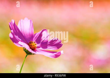 The Beautiful Wide Angle flower background. Panoramic floral wallpaper with pink chrysanthemum flowers close up - Stock Photo