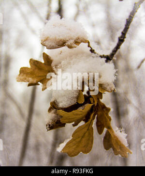 Frozen dry oak leaves covered with fluffy snow - Stock Photo